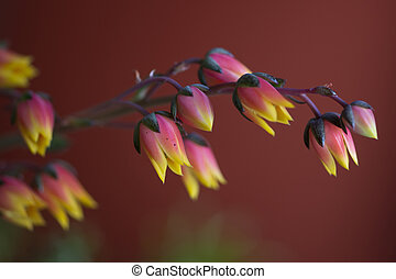 Echeveria derenbergii succulent with blooming flowers.