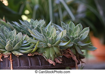 Echeveria / Echeveria is a large genus of flowering plants ...