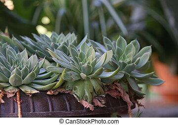 Echeveria / Echeveria is a large genus of flowering plants in the Crassulaceae family