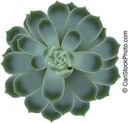 Green succulent echeveria on white isoleted background