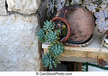 Echeveria is a large genus of flowering plants in the Crassulaceae family