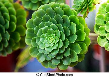 Echeveria Pulidonis green cactus in a garden. Close-up