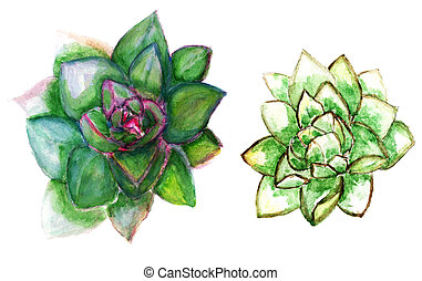 Echeveria succulent art - Colorful succulent plant echeveria...
