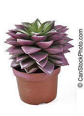 Echeveria with peaks red - Echeveria succulent leaves with ...