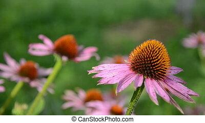 Echinacea angustifolia flowers in garden and wind