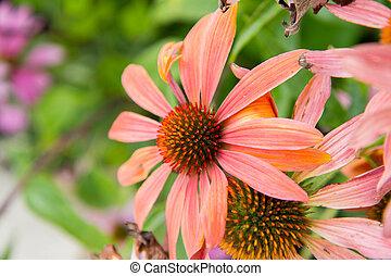 Echinacea blooming