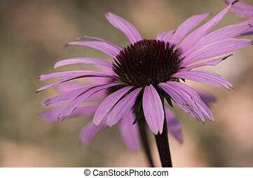 echinacea flower close-up