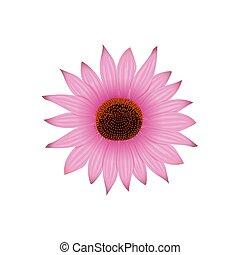 Echinacea flower head and petals, hedgehog coneflower hand drawn botanical illustration isolated on white. For prints cosmetics, hygiene, design, healthcare, folk medicine, sanitation