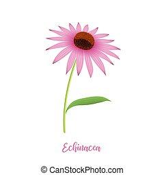 Echinacea flower head, steam, leaves and petals, hedgehog coneflower. Medicinal plant. botanical illustration isolated. For cosmetics, hygiene, design, healthcare folk medicine sanitation