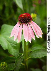 Echinacea flower in a garden