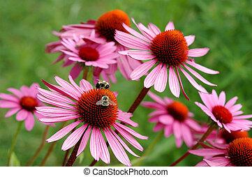 echinacea - flower