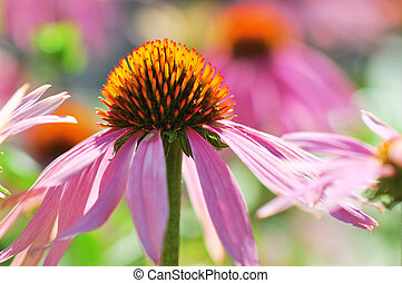 Echinacea flowers in the garden. Sunny day.