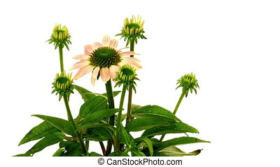 Time-lapse of cone flowers (Echinacea purpurea) blooming. Studio shot over white.