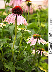 Echinacea flowers in a garden