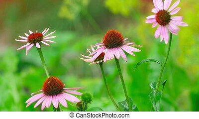 Raindrops on the petals of a flower Echinacea, slow motion