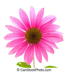 Echinacea isolated, previously classified as Rudbeckia