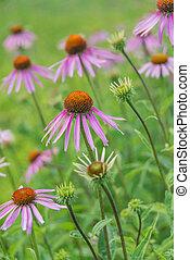 Echinacea Purpurea closeup - Large plantation of medicinal...