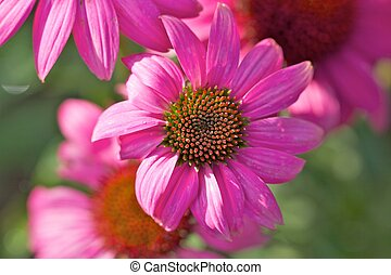 Echinacea purpurea closeup - Echinacea purpurea macro
