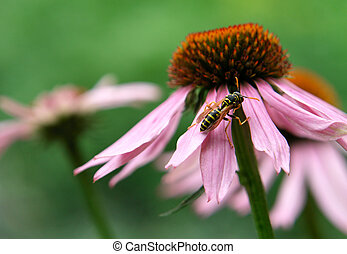 Echinacea purpurea ?n a green background...