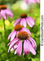Echinacea purpurea plant - Blooming medicinal herb echinacea...