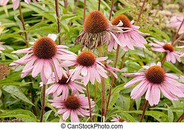 Echinacea purpurea - Pink flowers of Echinacea purpurea...