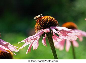 Echinacea purpurea on a green background...