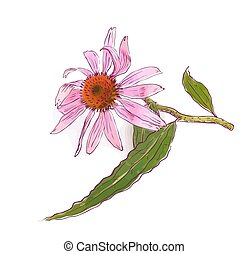Echinacea purpurea (eastern purple coneflower or purple...