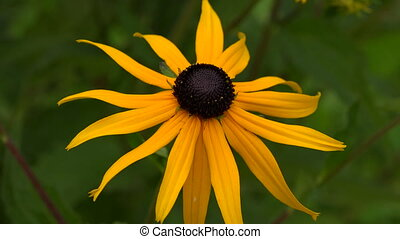 Echinacea. Yellow daisy. Shot in 4K (ultra-high definition (UHD)), so you can easily crop, rotate and zoom, without losing quality! Real time.