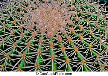 echinocactus, (barrel, cactus), 1