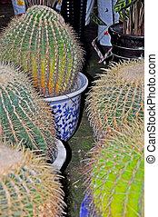 Echinocactus (Barrel Cactus)3