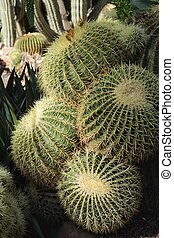 Echinocactus Grusonii in the garden