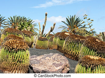 the golden barrel cactus,