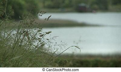 Echinochloa Weeds, Lake House In Background - Steady, close...