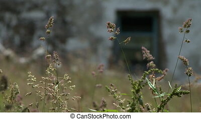 Echinochloa Weeds, Stone Hut - Steady, close up shot of...