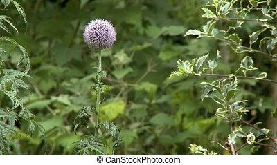 Echinops Globe Flower - Steady, medium close up shot of a...