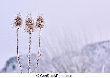 Echinops thistles plant - Frozen echinops thistles plant