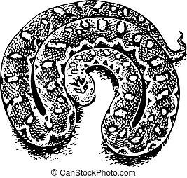 Echis (venomous viper) on white background