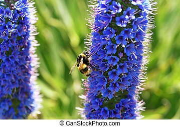 Echium candicans with bee.