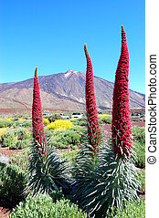 Echium wildpretii plant also known as tower of jewels, red bugloss, Tenerife bugloss or Mount Teide bugloss and volcano Teide at background. The species is endemic to the island of Tenerife, and is found mainly in Las Canadas del Teide. Tenerife island, Spain
