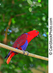 Eclectus parrot Female (Red) (Eclectus roratus) is a parrot ...
