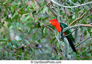Eclectus parrot Male (green) (Eclectus roratus) is a parrot ...
