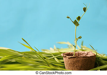 Eco-friendly spring garden background in blue. A young pea sprout growing in a peat pot on fresh grass against a clear blue sky.