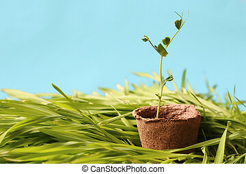 Eco-friendly spring garden background light blue. A young pea sprout growing in a peat pot on fresh lawn grass.