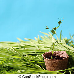 Eco-friendly spring garden square background in blue. A young pea sprout growing in a peat pot on fresh lawn grass.