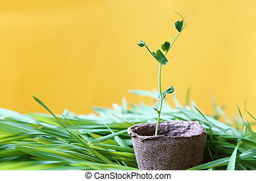 Eco-friendly spring sunny garden background in yellow. A young pea sprout growing in a peat pot on fresh lawn grass.