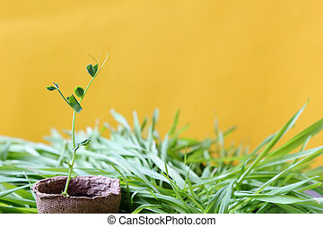 Eco-friendly spring sunny garden background in yellow. Planted seedlings. A young pea sprout growing in a peat pot on fresh lawn grass.