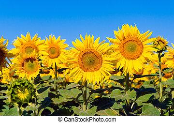 eco, planta, flor, agricultura, girassol