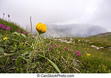 ecologia, erboso, giallo, sfocato, alto, luminoso, tenero, fiore, sole, concept., luminoso, fondo., collina, montagne, bellezza, natura, problemi, gambo, primo piano, foglie, verde, azzurramento, ripido