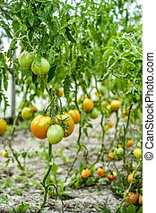 ecological tomatoes in the greenhouse
