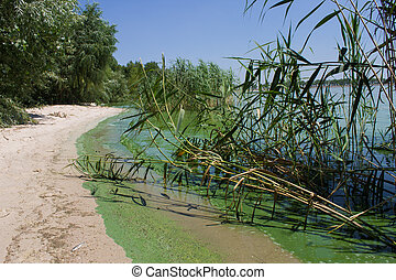 ecology. blooming pond. algal blooms, green beach on the...